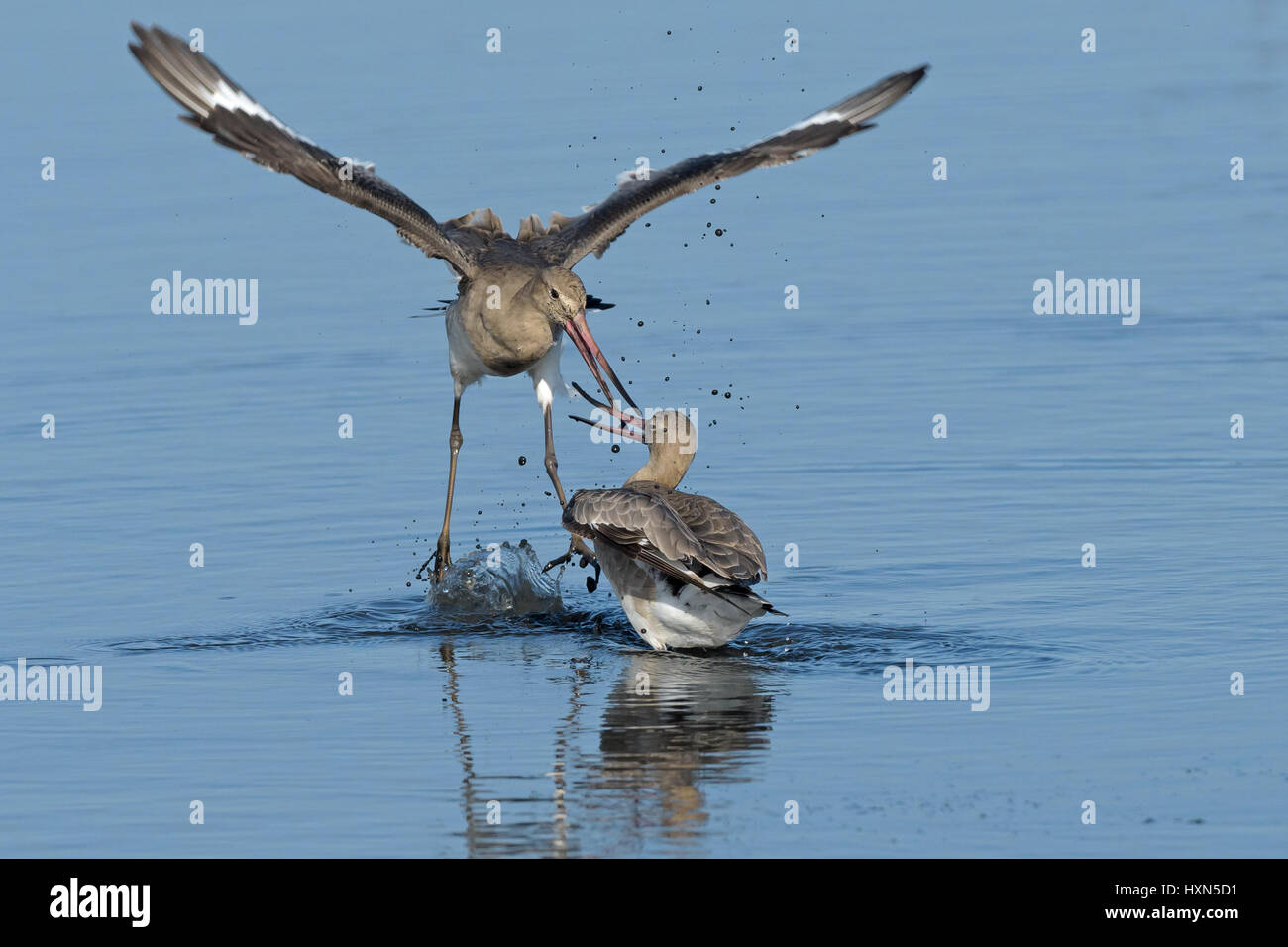 Black-tailed godwits (Limosa limosa) fighting. Norfolk, England. September. Stock Photo