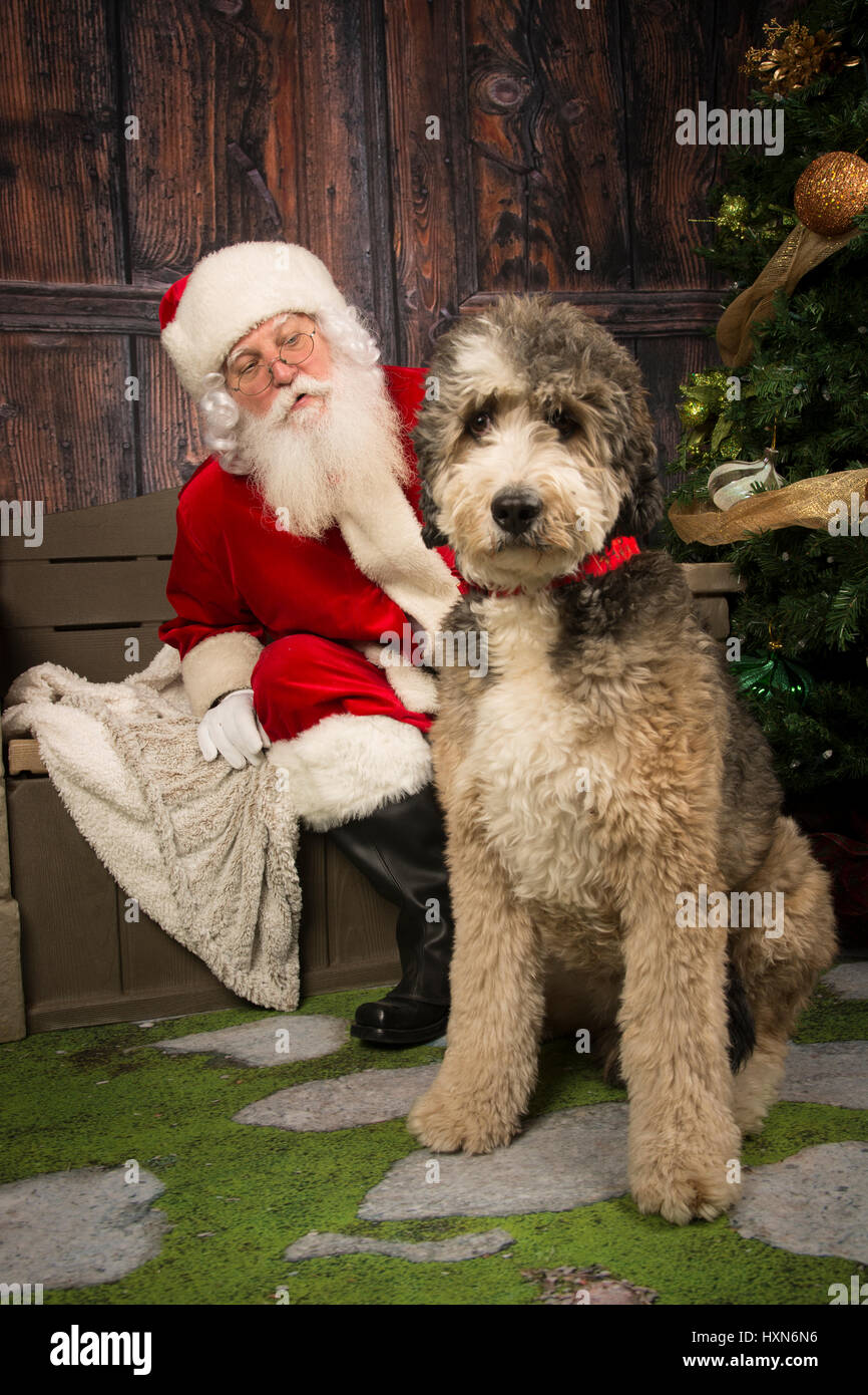 Santa with a Bernadoodle at Lucky Dog Rescue Fundraiser Stock Photo