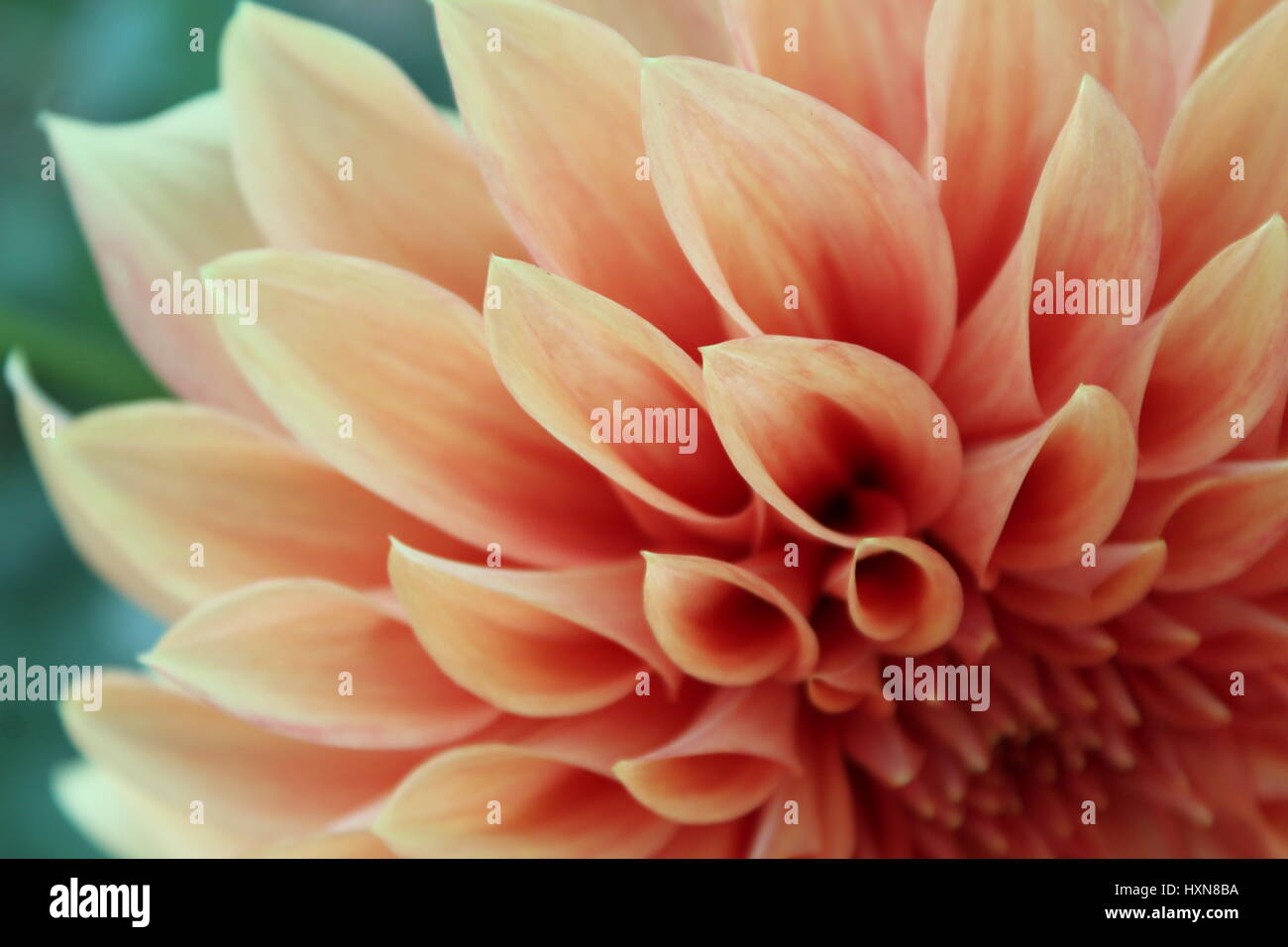 Yellow Orange Dahlia Flower Macro Stock Photo 136921214 Alamy