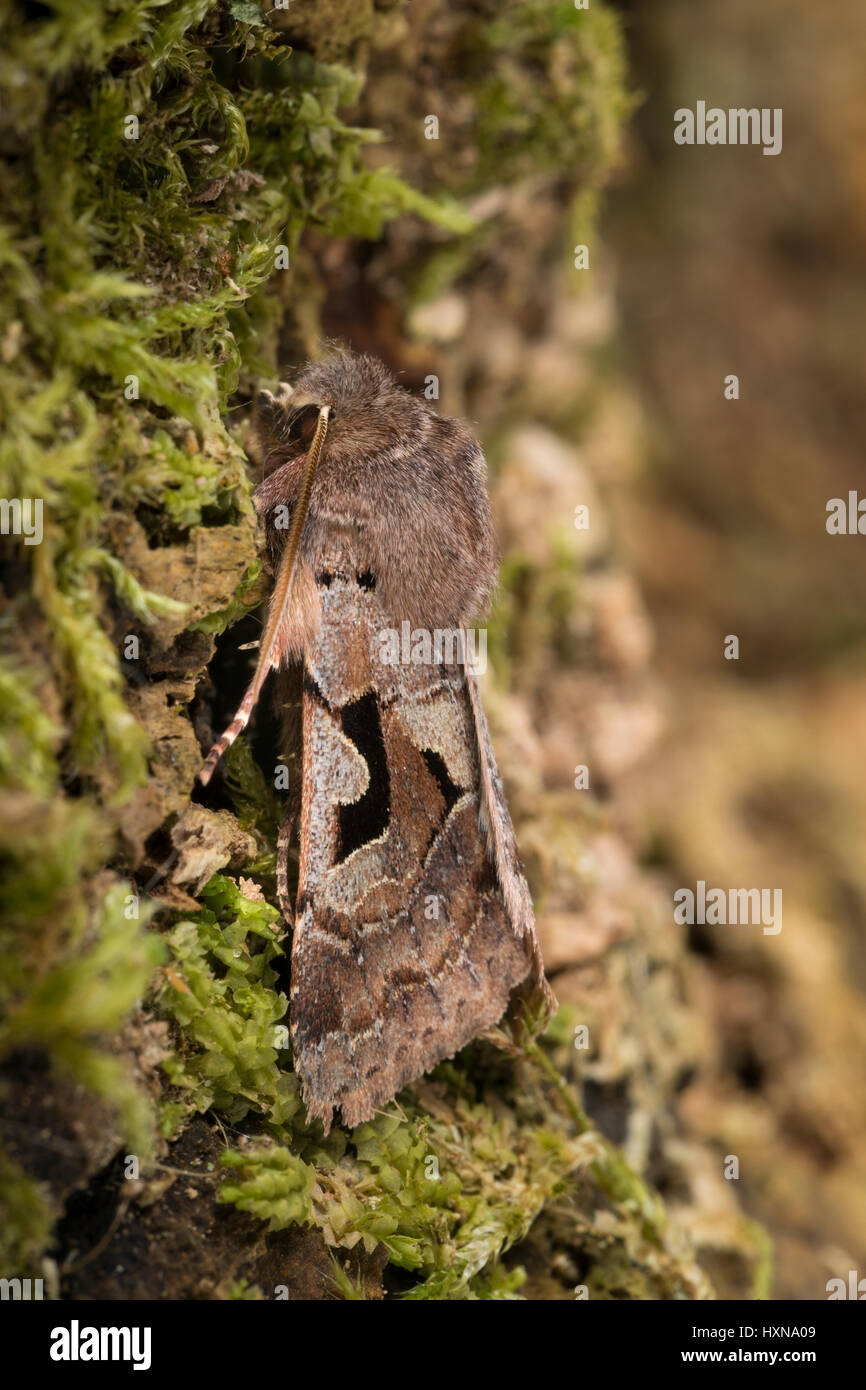 Gothica-Kätzcheneule, Graue Frühlingseule, Bräunlichgraue Frühlingseule, Gotische Eule, Orthosia - Stock Image