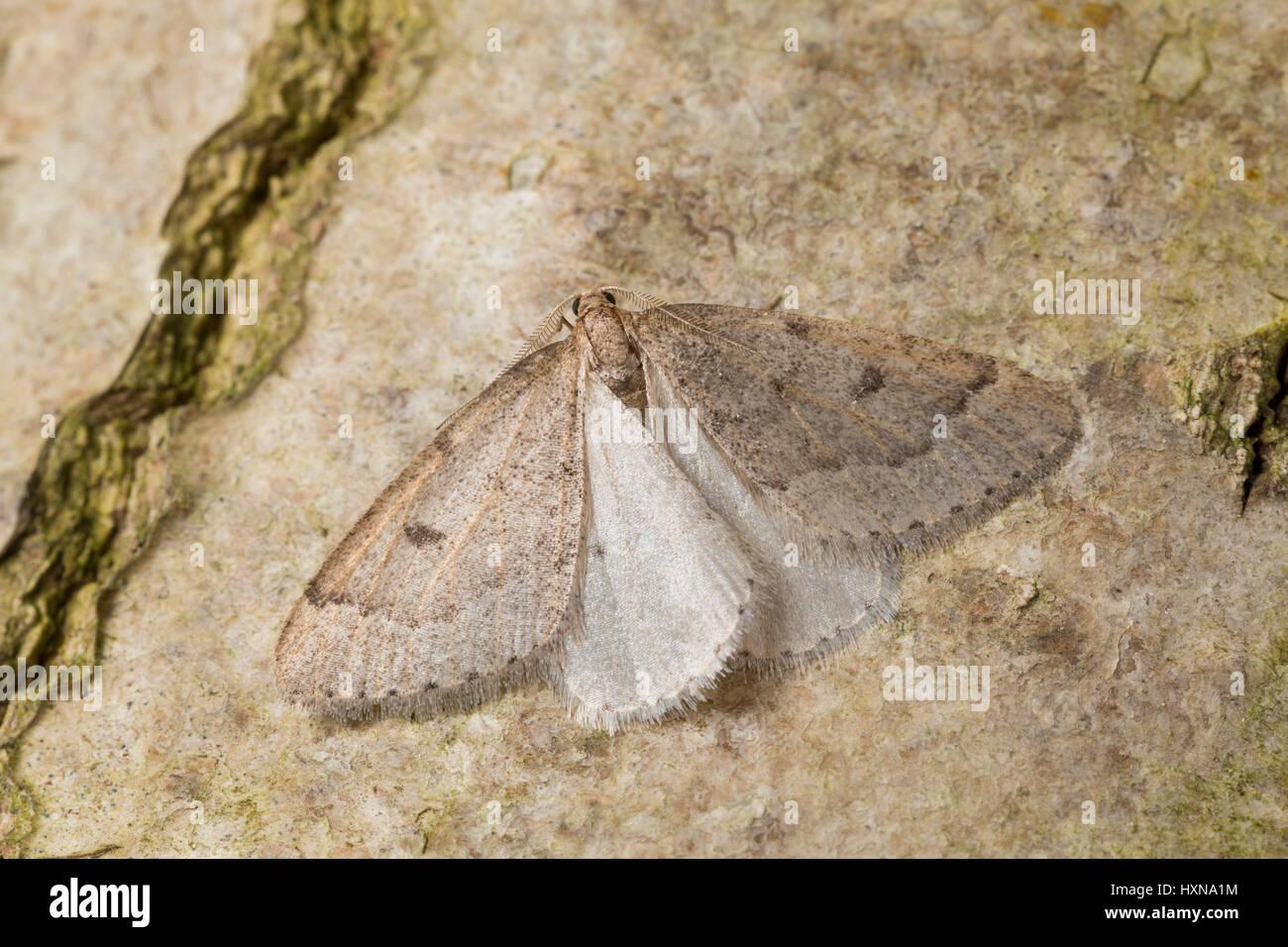 Später Schlehenbusch-Winterspanner, Später Schlehenbuschwinterspanner, Männchen, Theria rupicapraria, - Stock Image