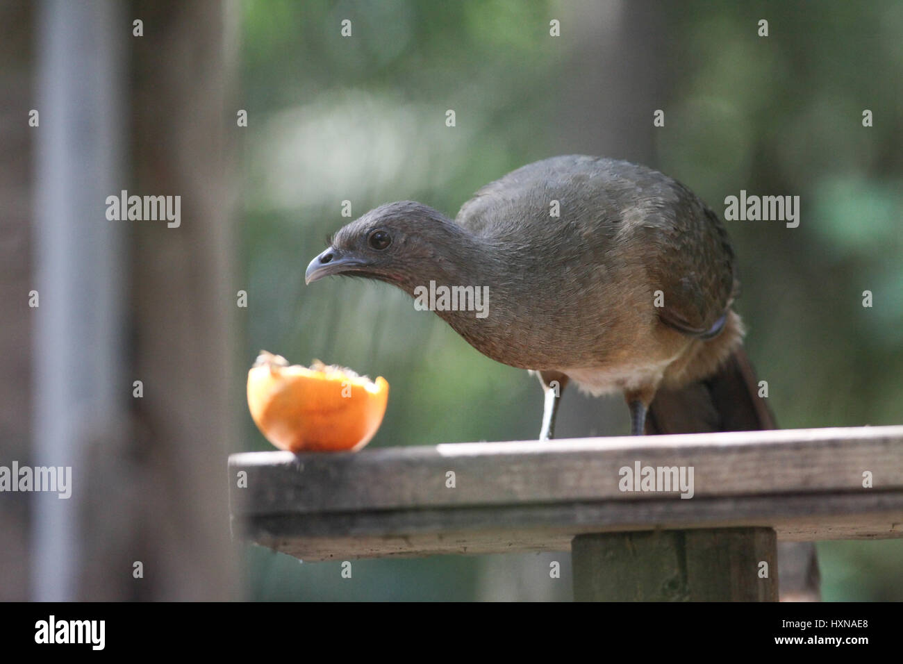 Plain Chachalaca (Ortalis vetula) on feeding station with orange at Sabal Palms Sanctuary, TX - Stock Image
