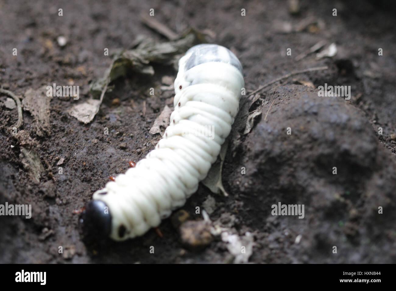 Giant Grub Worms Stock Photo 136923364 Alamy