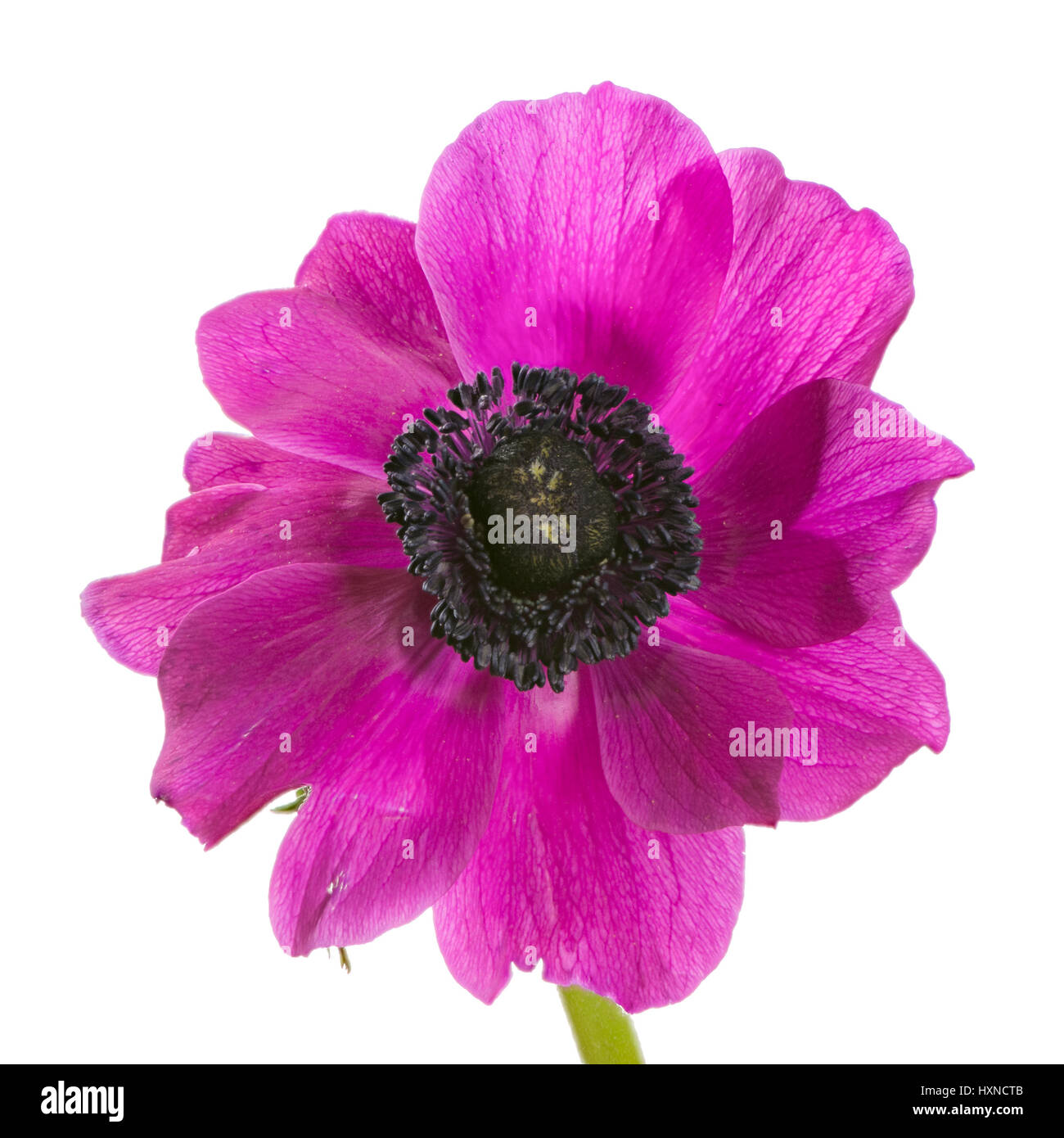 Macro of an isolated purple anemone flower blossom Stock Photo