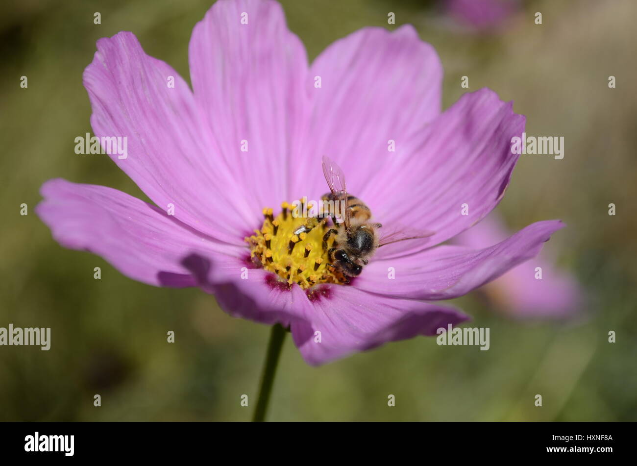 bee on pink cosmos - Stock Image