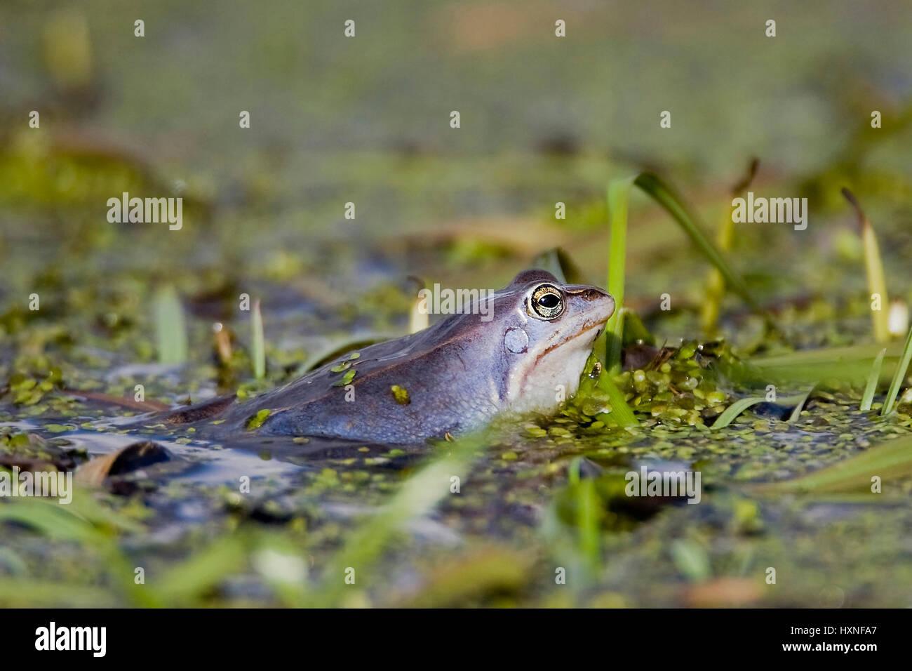 Moor frog with the mating - moor Frog, Moorfrosch bei der Paarung - Moor Frog Stock Photo