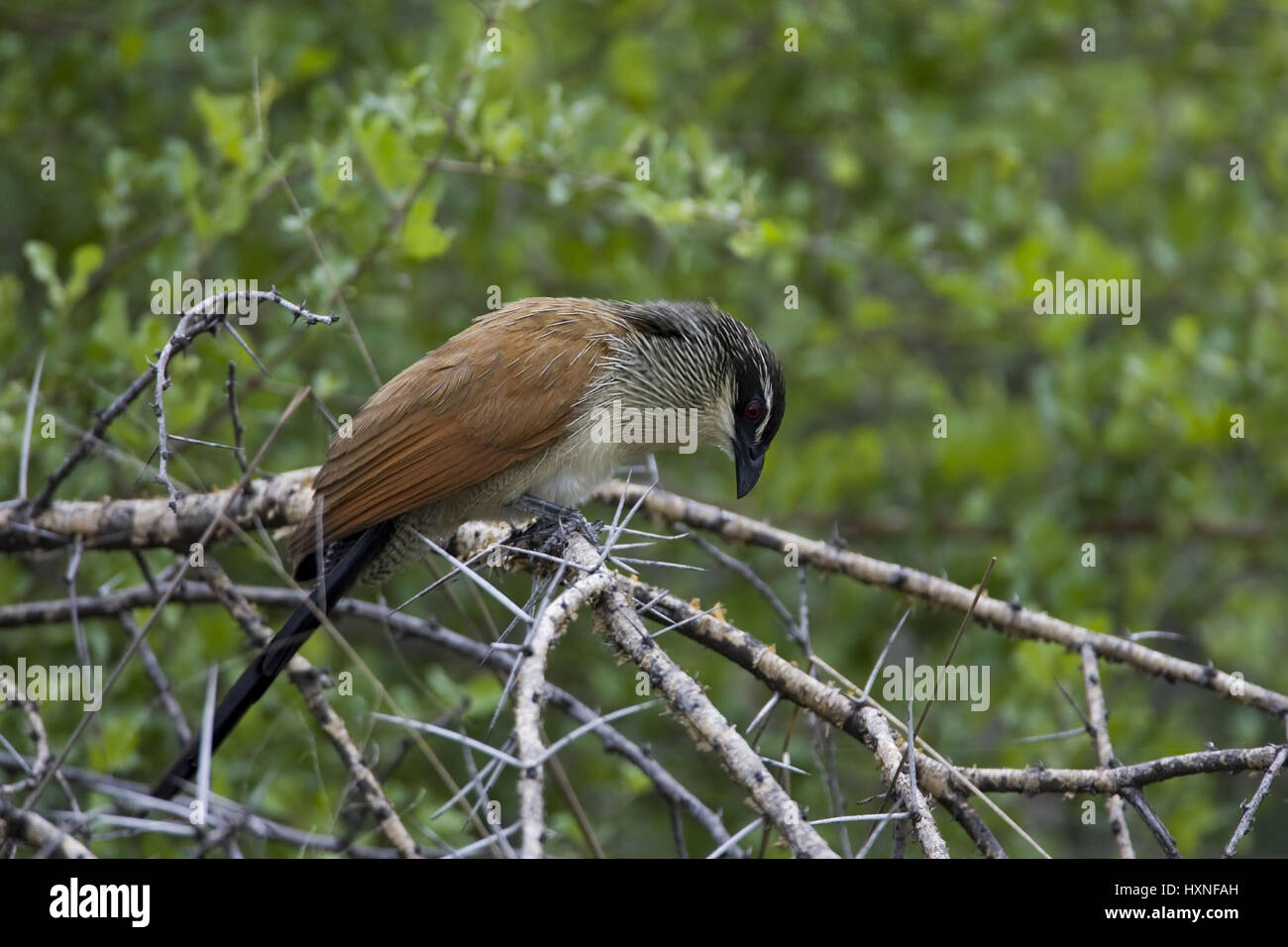 White eyebrows spur cuckoo |Centropus superciliosus - White browed Coucal, Weissbrauen Spornkuckuck |Centropus superciliosus - Stock Image