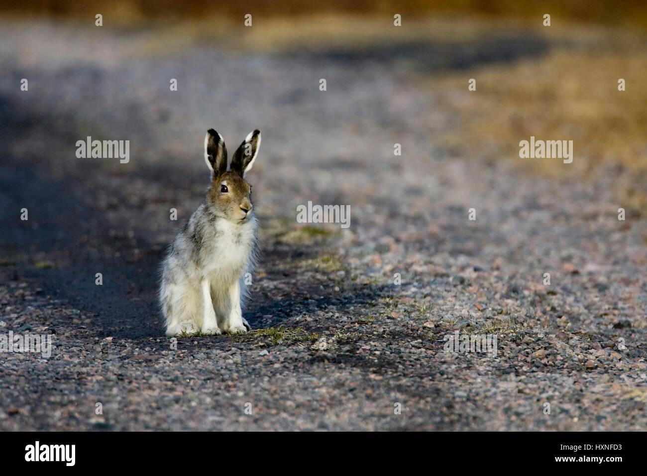 Buck in search of a female hare - autumn , Rammler auf der Suche nach einer Haesin - Herbst 2008 - Stock Image