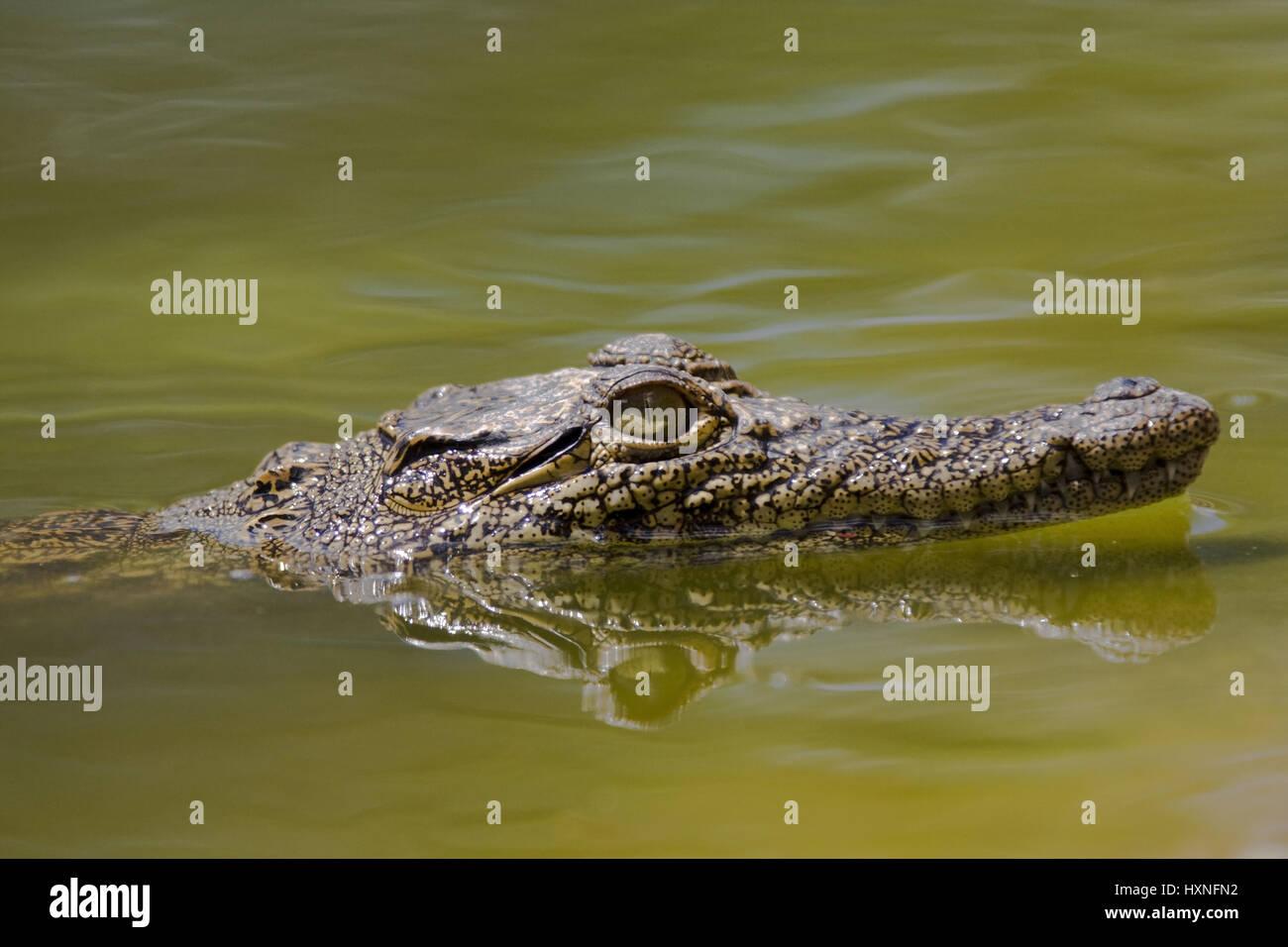 Nile crocodile, Crocodylus niloticus - Nile crocodile , Nilkrokodil | Crocodylus niloticus - Nile crocodile   mit - Stock Image