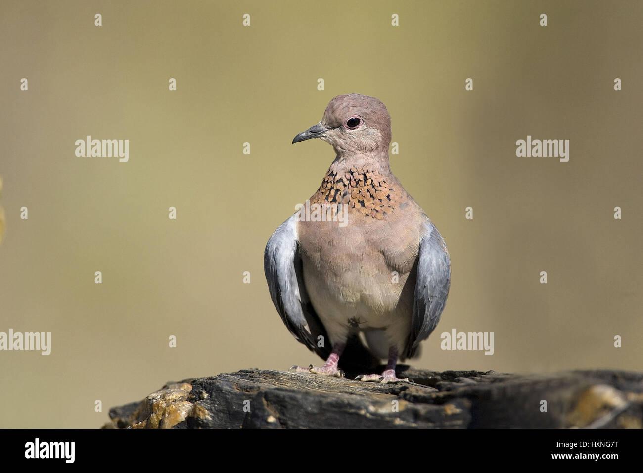 Senegal pigeon, Streptopelia senegalensis - Laughing Dove, Senegaltaube | Streptopelia senegalensis -  Laughing - Stock Image