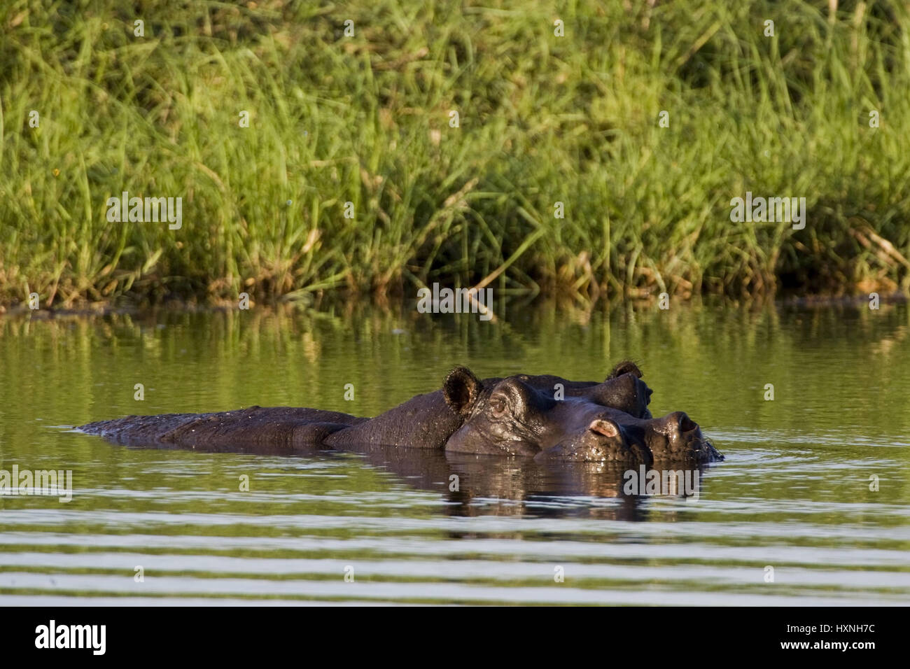 Hippopotamus, Hippopotamus amphibius - Hippopotamus , Flusspferd | Hippopotamus amphibius - Hippopotamus   schwimmend - Stock Image