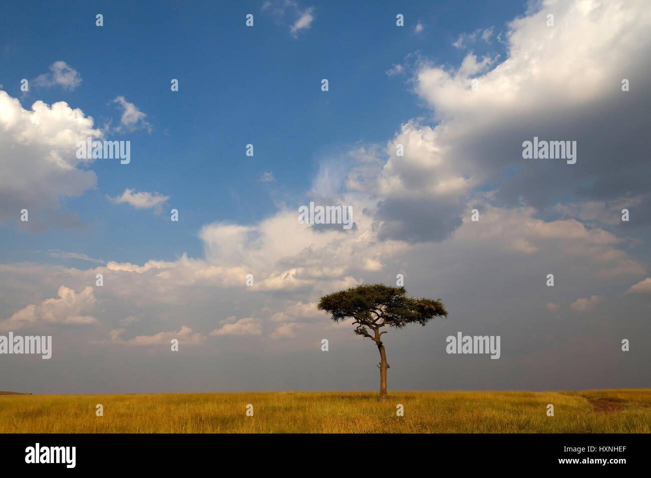 single tree in the savanna with cloud mood, einzelner Baum in der Savanne mit Wolkenstimmung  Masai Mara, Kenia - Stock Image