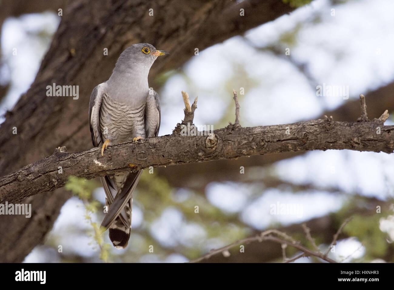 African cuckoo, Cuculus gularis - African Cuckoo, Afrikanischer Kuckuck | Cuculus gularis - African Cuckoo  auf - Stock Image