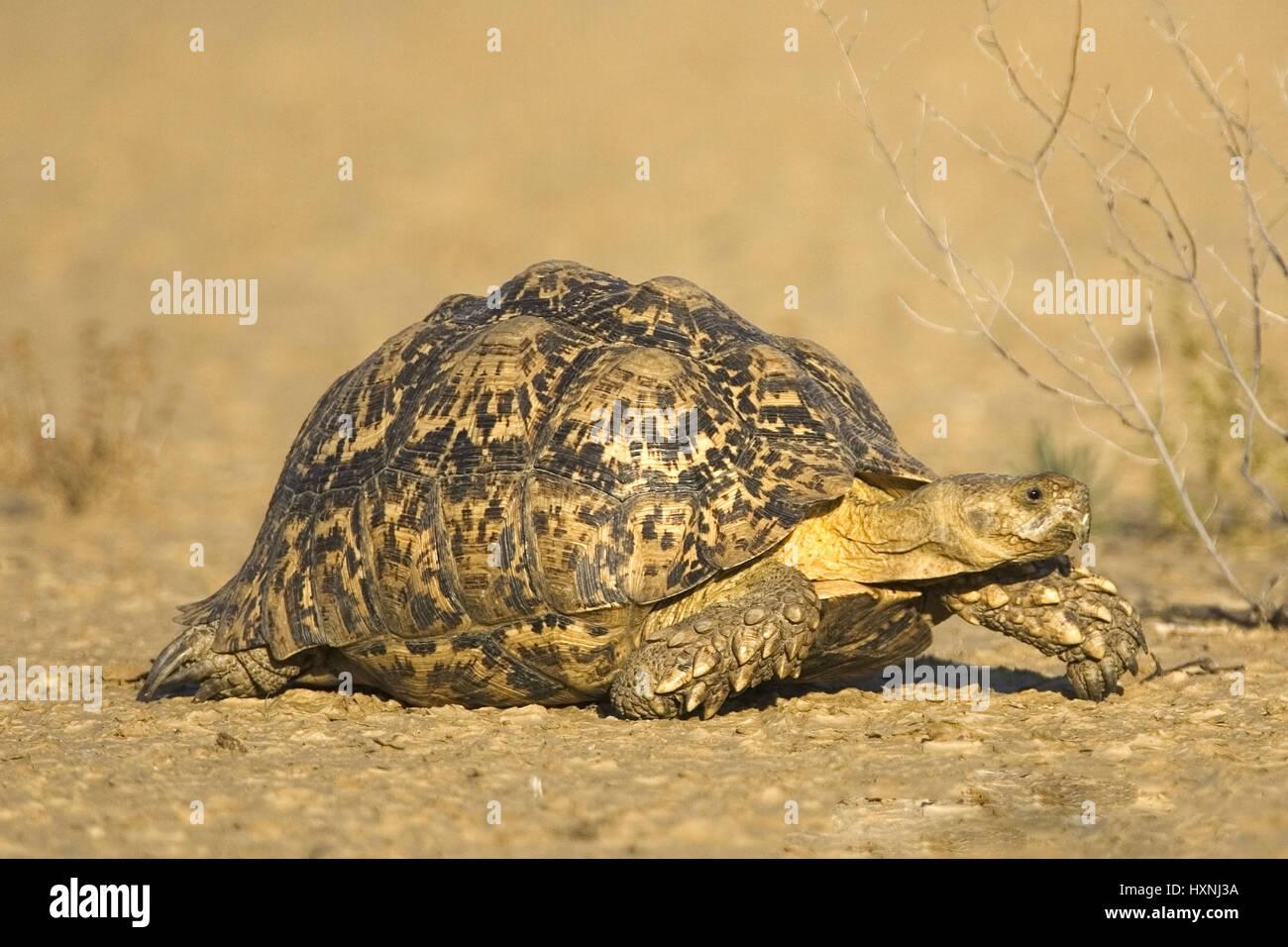 Panther's tortoise, leopard Tortoise - Geochelone pardalis, Pantherschildkroete | Leopard Tortoise - Geochelone - Stock Image