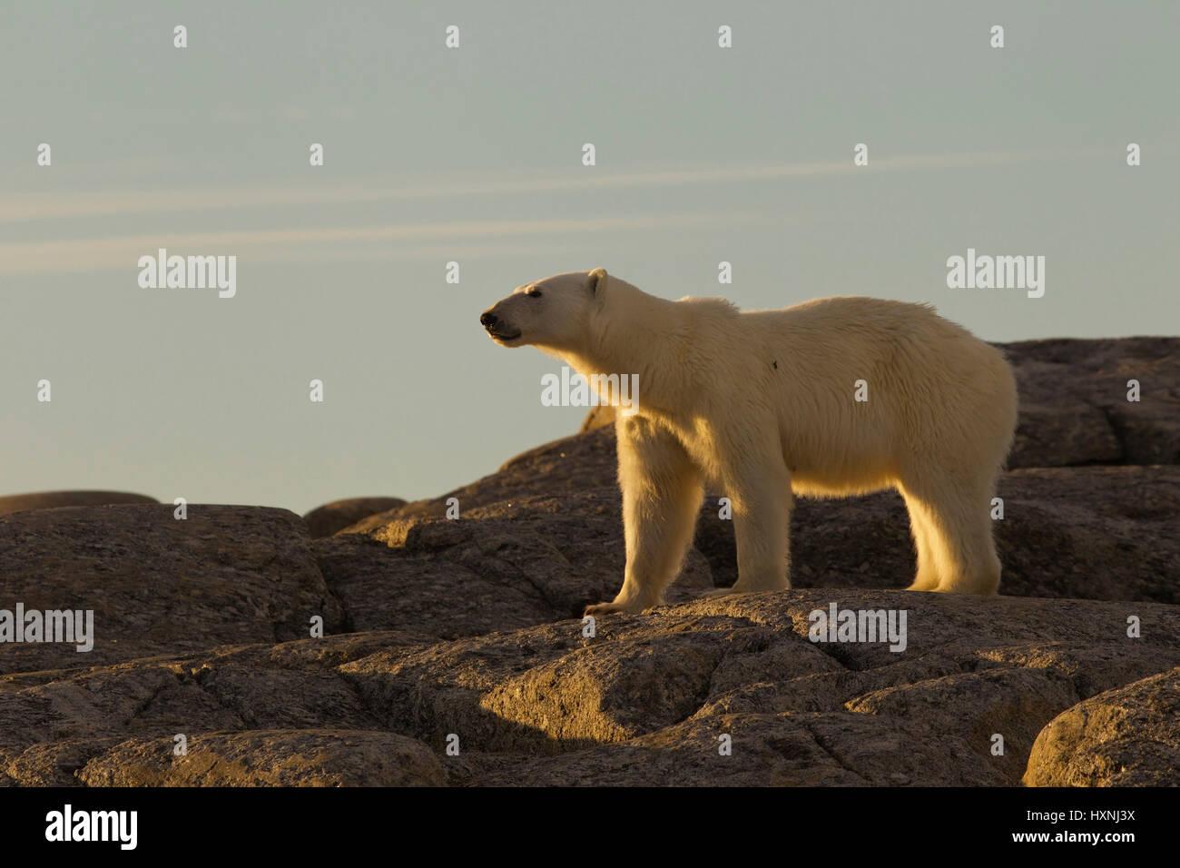 Polar bear stands on rocks and picks up the scent, Eisbär steht auf Felsen und nimmt Witterung auf - Stock Image