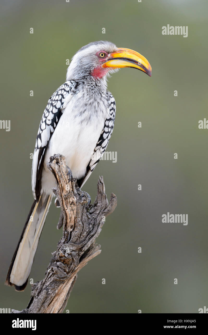 Southern yellow-billed hornbill (Tockus leucomelas) perched on dead tree stump, Kruger National Park, South Africa. - Stock Image