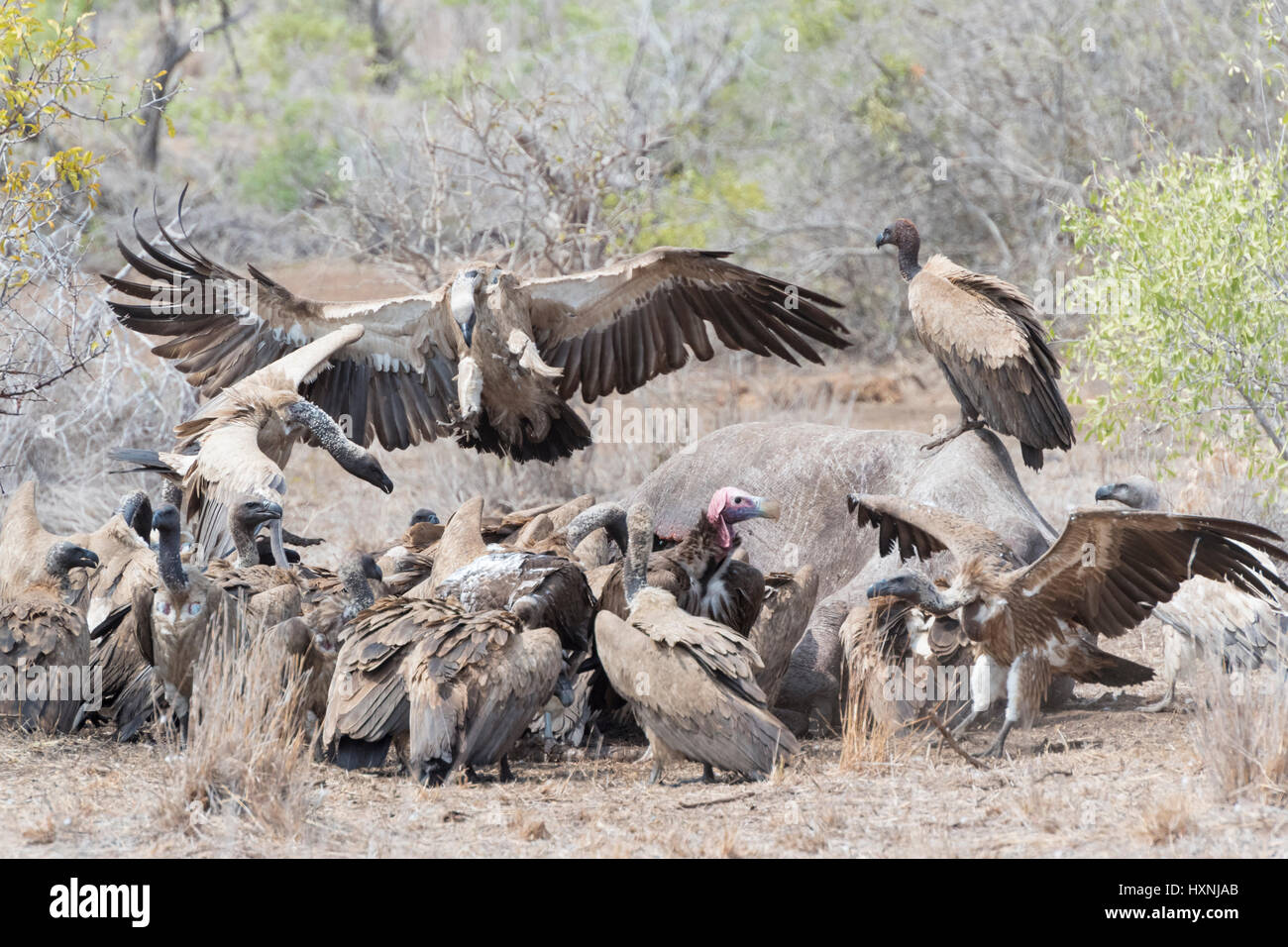 White-backed vulture (Gyps africanus and cape vulture (Gyps coprotheres) fighting over carcass, Kruger national - Stock Image
