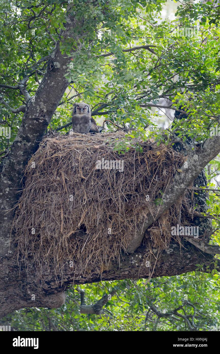 Verreaux's Eagle-owl (Bubo lacteus)  sitting on Hamerkop (Scopus umbretta) nest in tree, Kruger national park - Stock Image