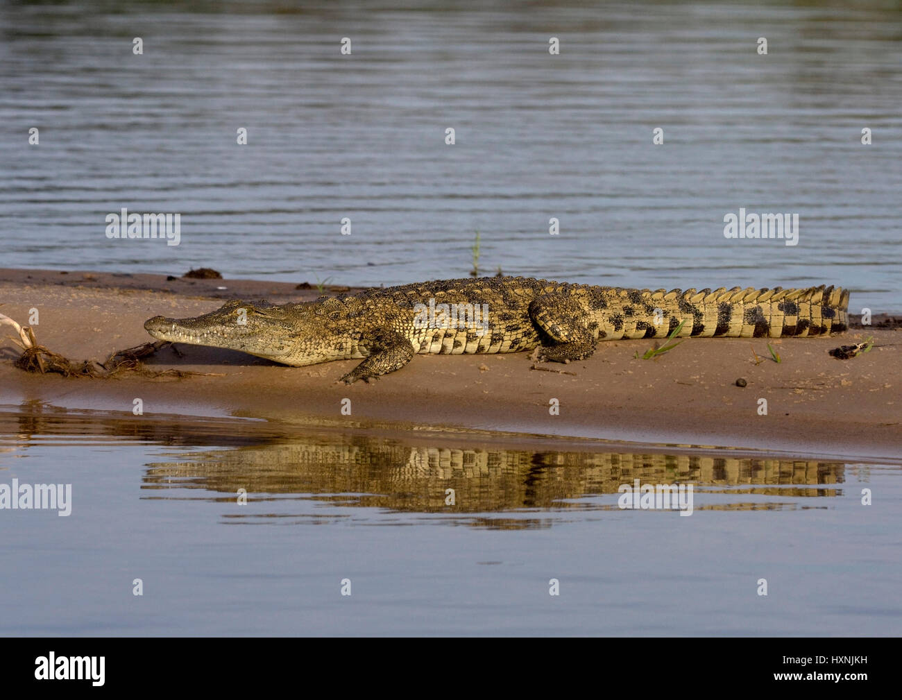 Nile crocodile, Crocodylus niloticus - Nile crocodile , Nilkrokodil | Crocodylus niloticus - Nile crocodile   Nilkrokodil - Stock Image