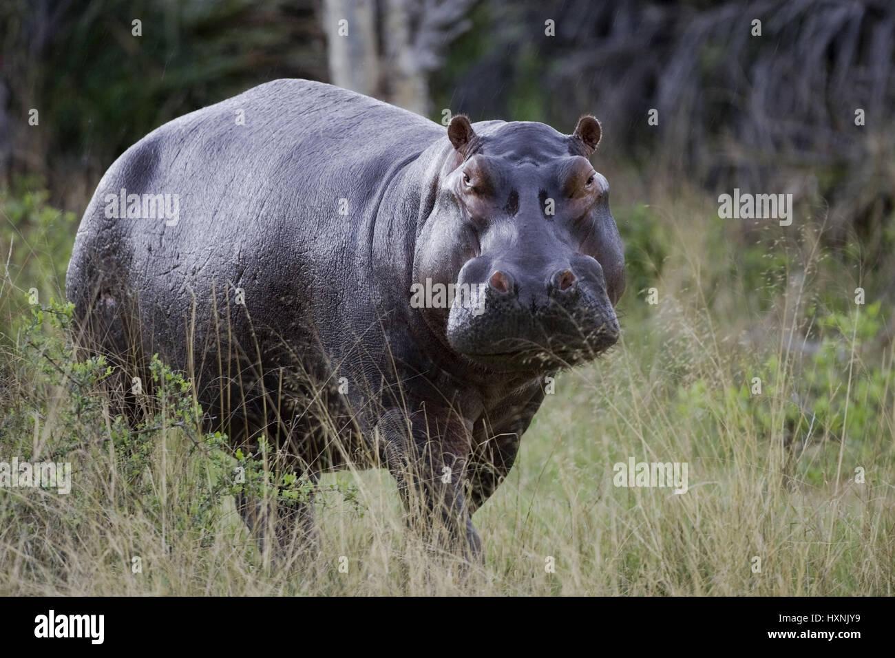Hippopotamus, Hippopotamus amphibius - Hippopotamus , Flusspferd | Hippopotamus amphibius - Hippopotamus   im Buschland - Stock Image