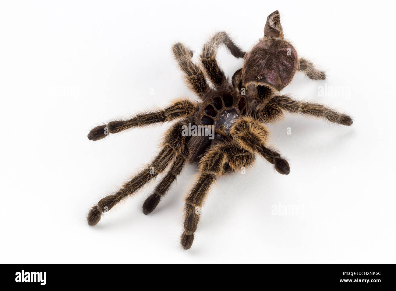 Tarantula Molt Rose Haired Spider Stock Photo 136929700 Alamy