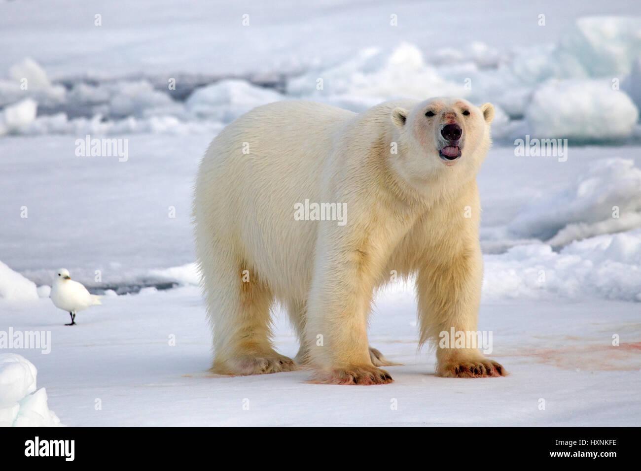 Polar bear with bloody paws, Eisbaer mit blutigen Tatzen Stock Photo