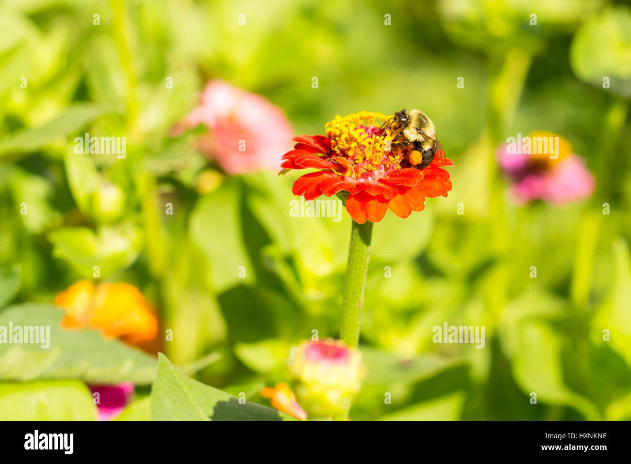 Honey Bee On Red Orange Yellow Flower With Pollen Sacs On Side