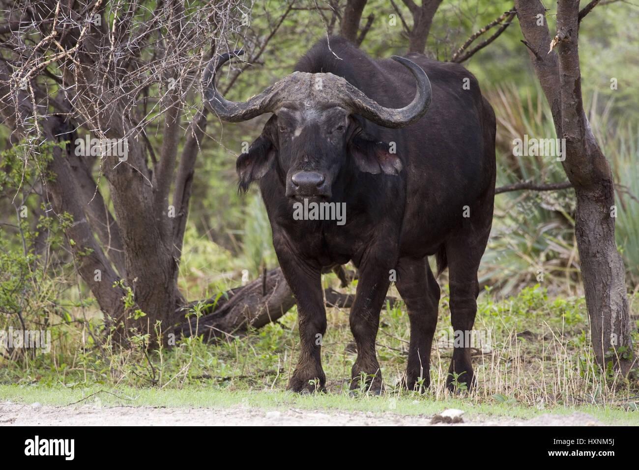 Kaffernbueffel, Syncerus caffer - Buffalo, Kaffernbueffel | Syncerus caffer -  Buffalo  Bulle  Mahango NP, Caprivi, - Stock Image