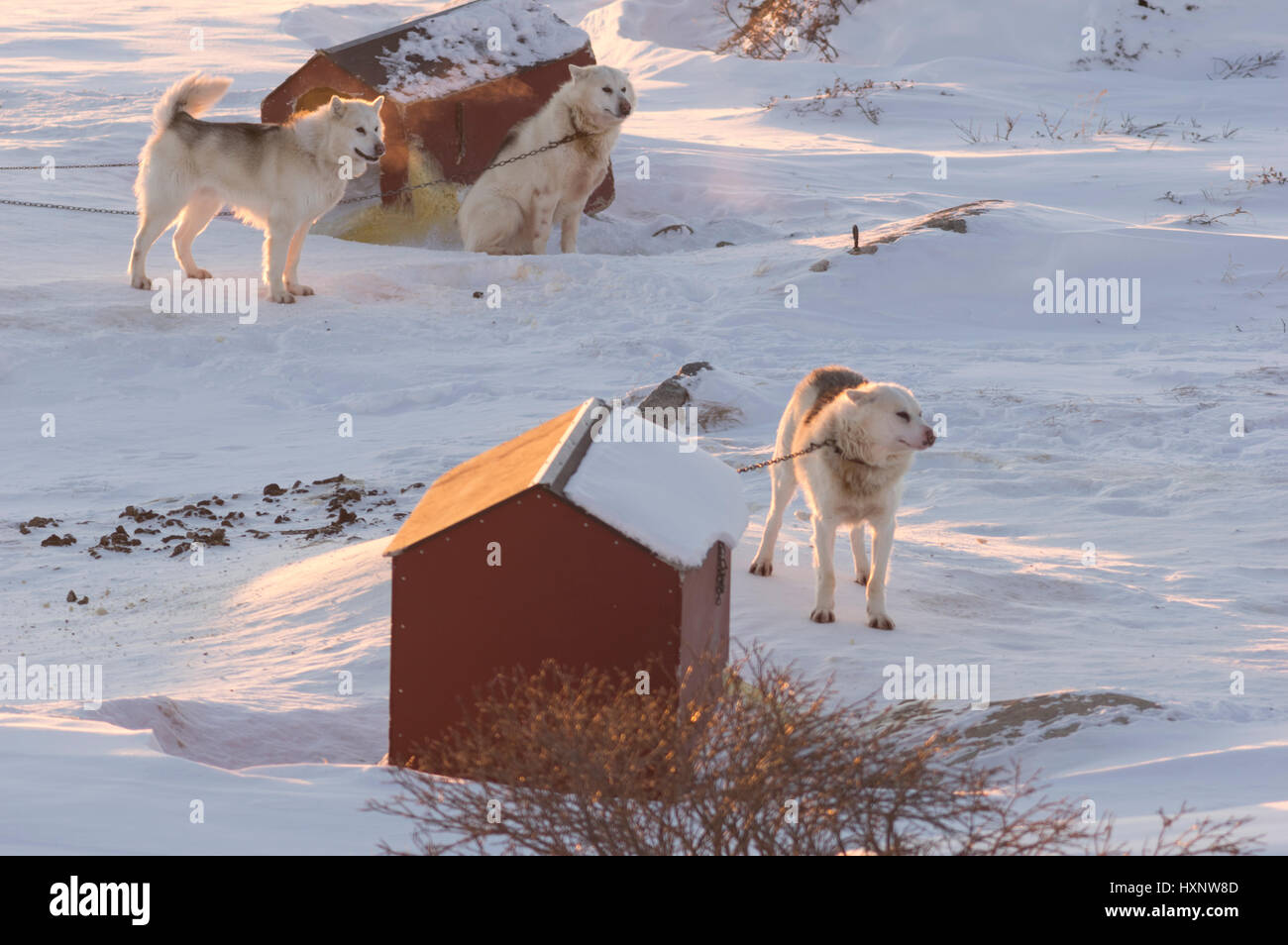 Working Husky dogs in Ilulissat Greenland - Stock Image