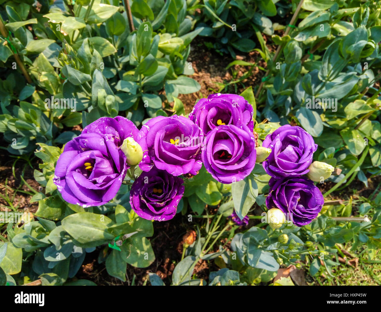 Closeup to Beautiful Purple Lisianthus/ Tulip Gentian/ Texas Blue Bell/ Eustoma Grandiflorum (L.) Cass/ Gentianaceae - Stock Image