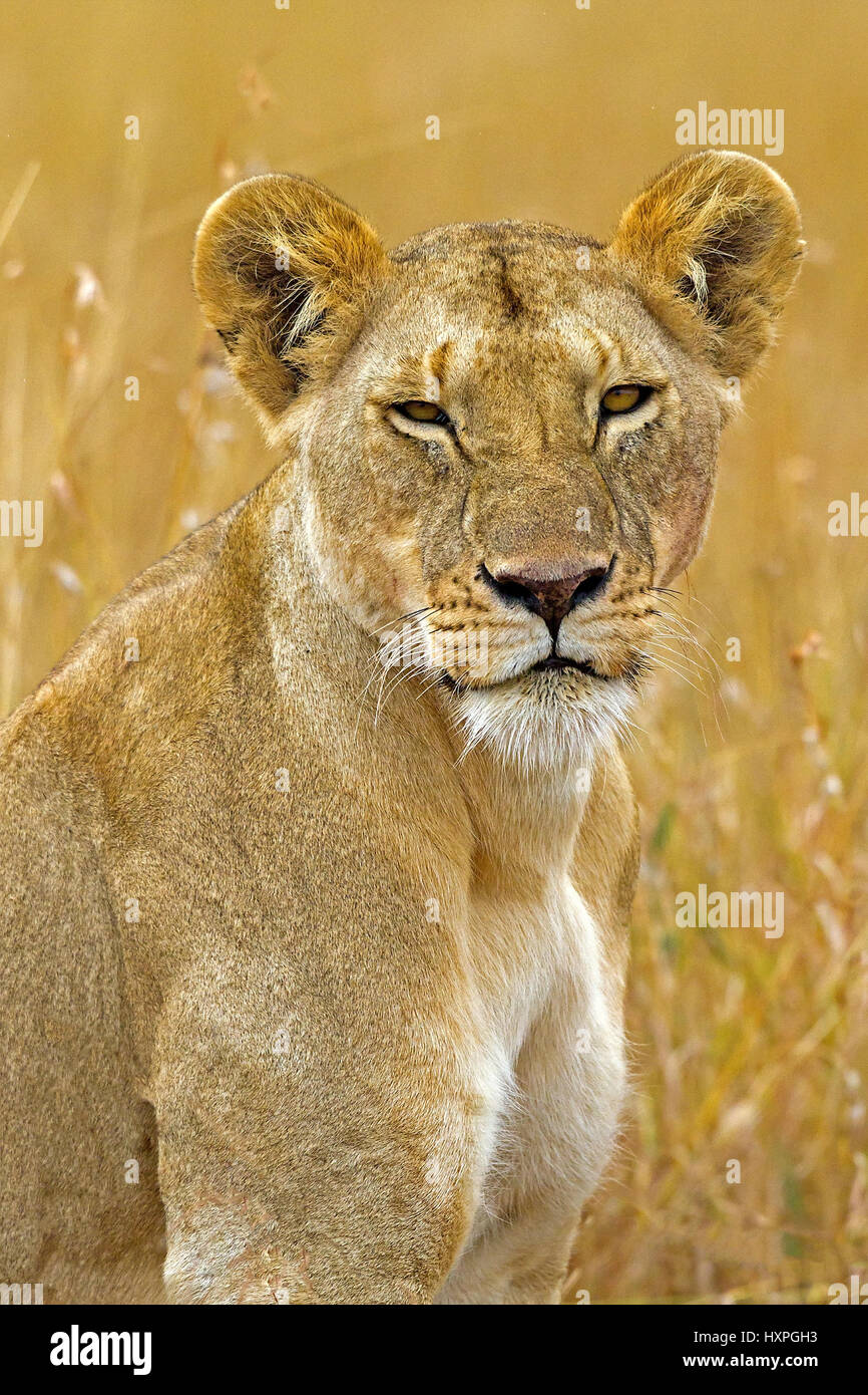 Lioness portrait, Löwin Portrait Stock Photo