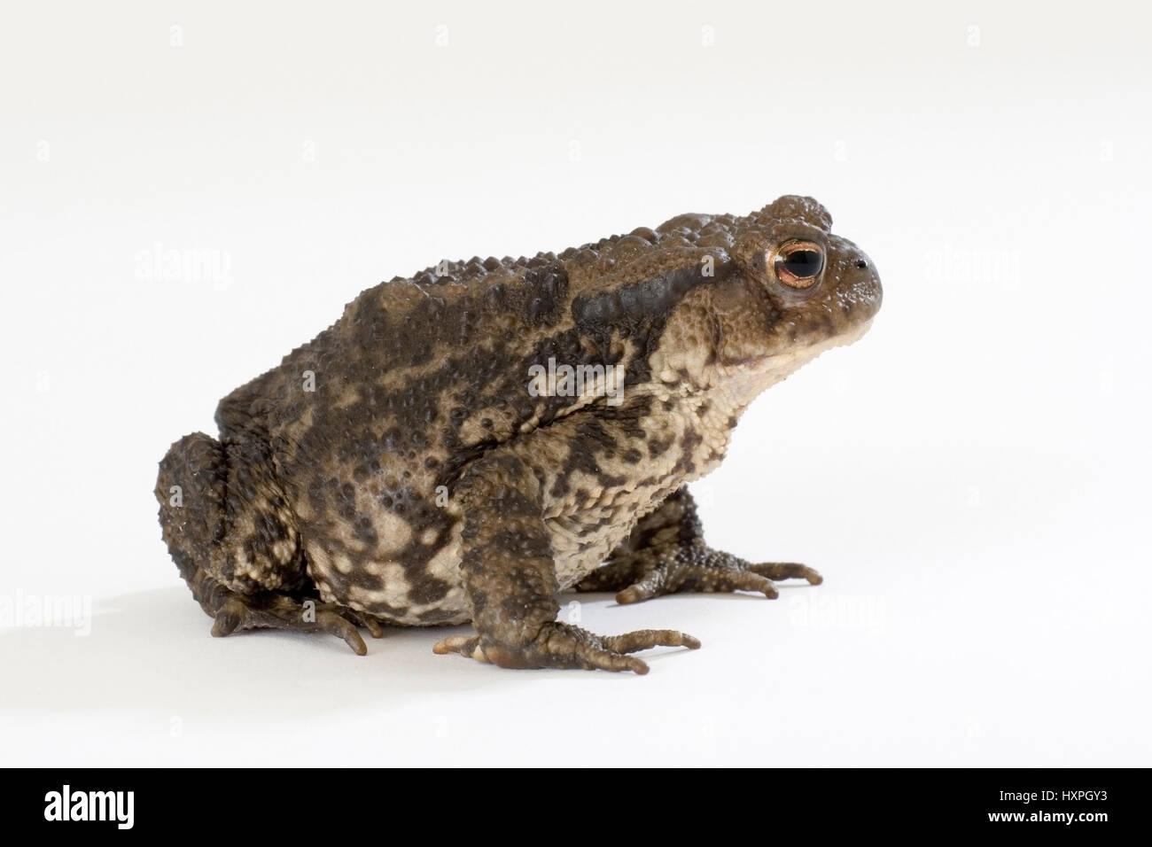 female earth toad, Bufo bufo, weibliche Erdkröte Stock Photo