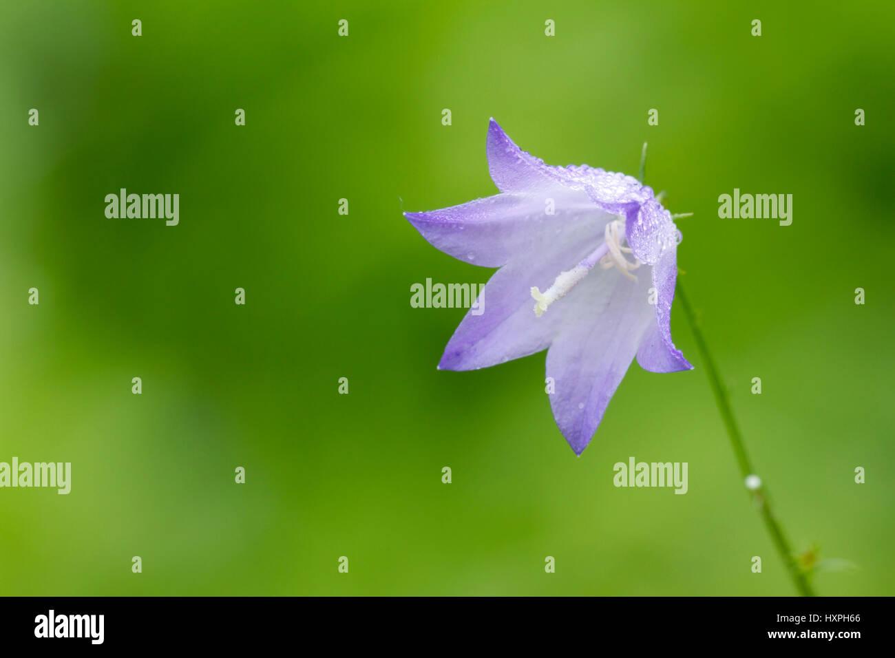 Bellflower, Glockenblume - Stock Image