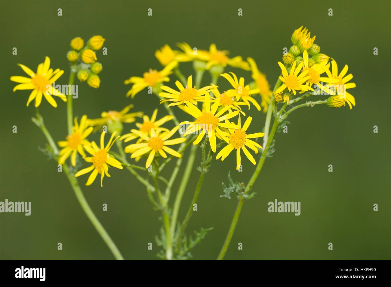 Jakob's cross herb, Jakob's old man's herb, Senecio jacobaea, toxic, plant type old man's herbs - Stock Image