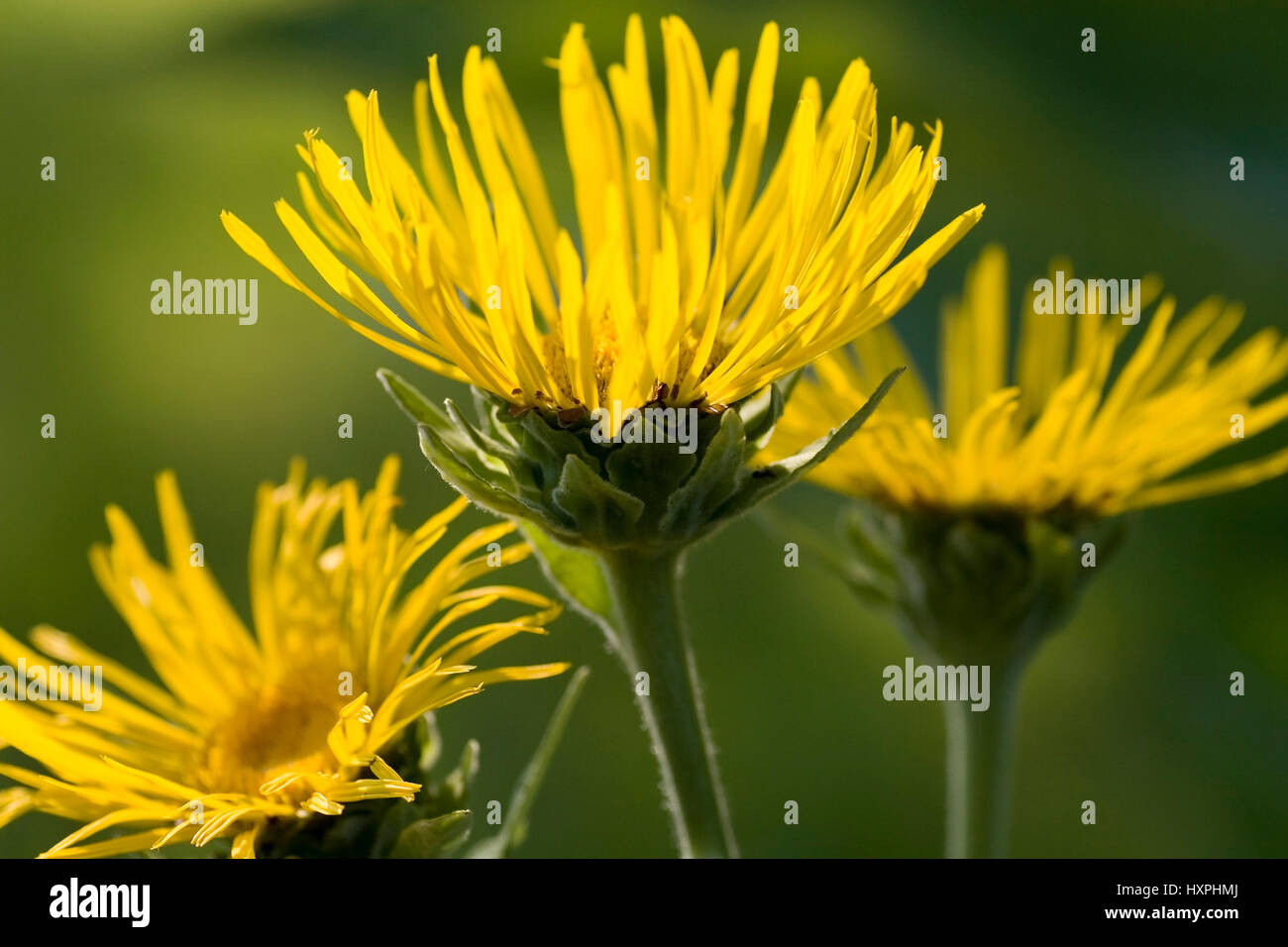 Real Alant (Inula helenium) is a plant from the family of the composites., Echter Alant (Inula helenium) ist eine - Stock Image