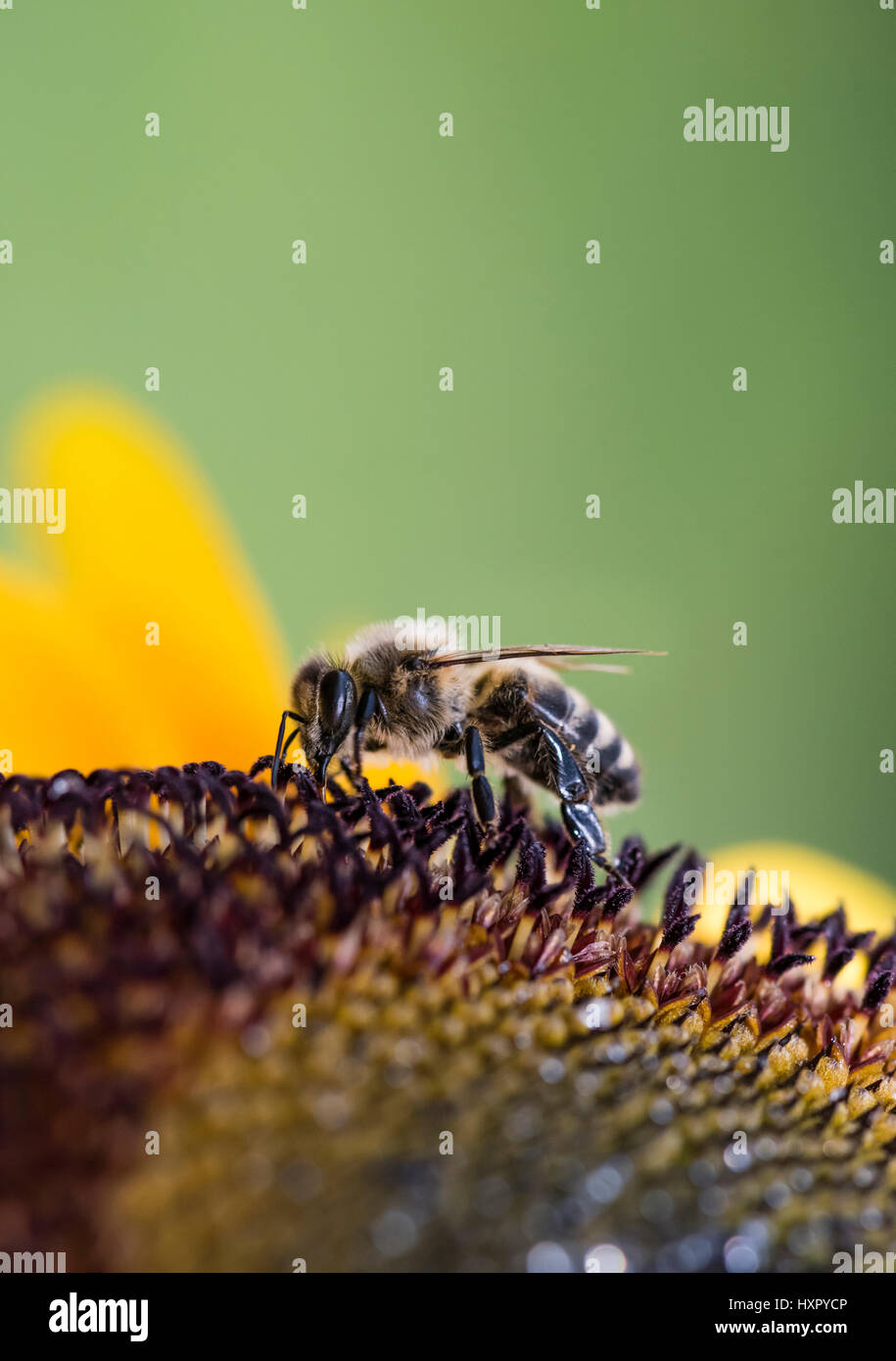 Extreme close-up of bee / honeybee (Apis mellifera) insect collecting pollen of a sunflower - Stock Image