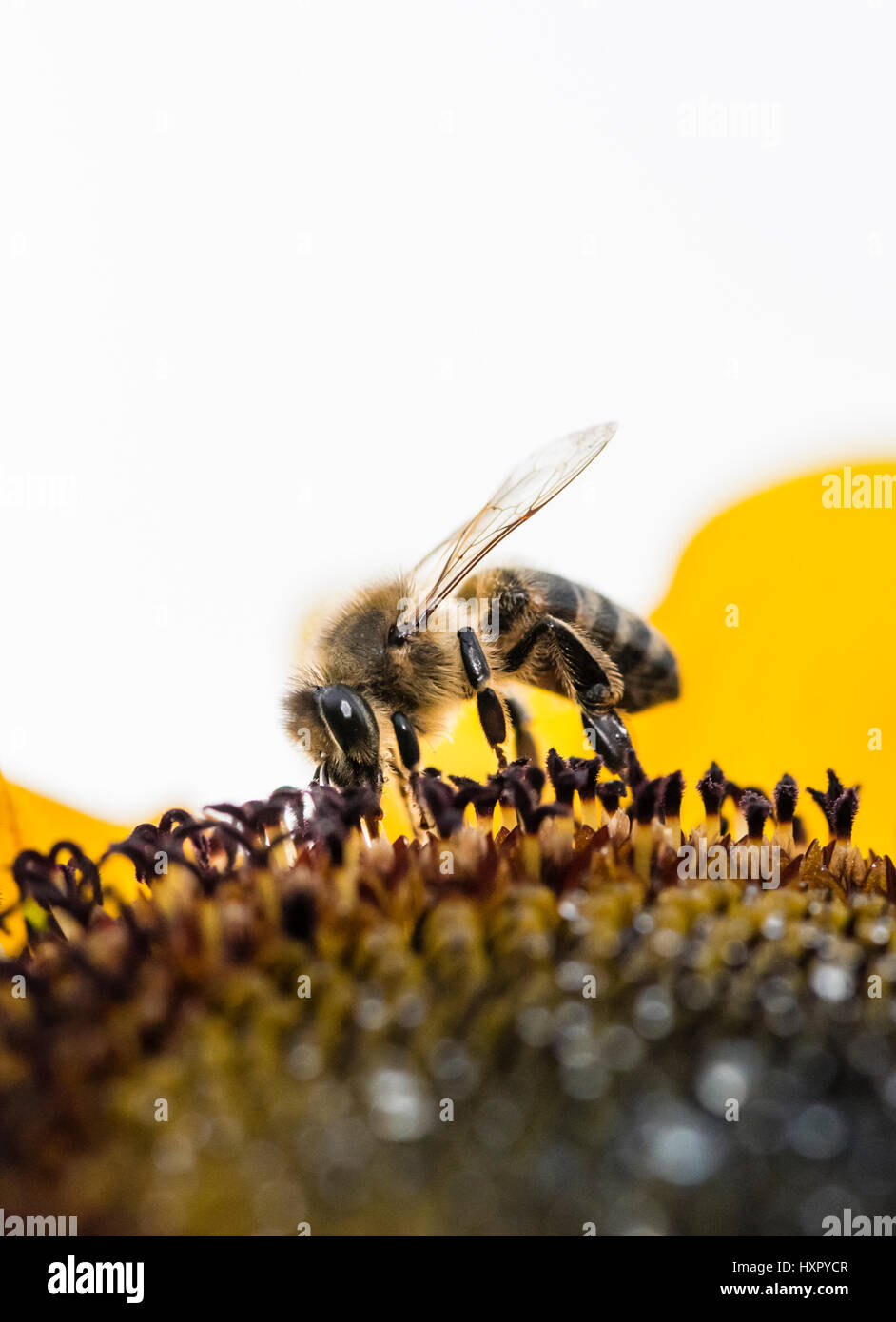 Extreme close-up of bee / honeybee (Apis mellifera) insect collecting pollen of a sunflower Stock Photo