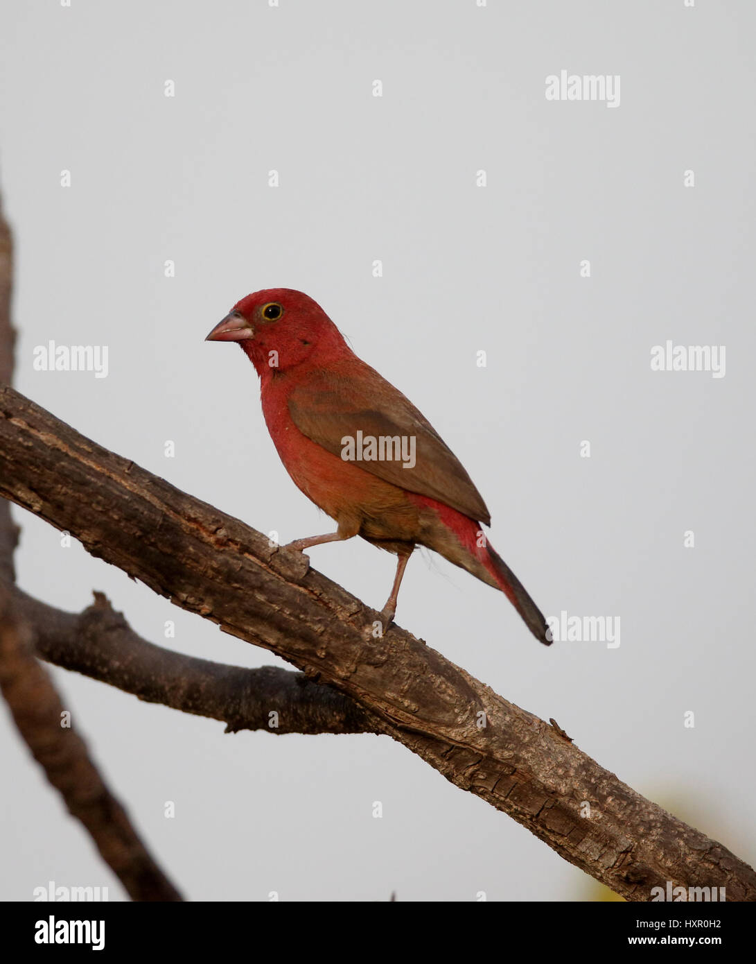 Red-billed firefinch, Lagonosticta senegala, single bird on branch, Gambia, February 2016 Stock Photo