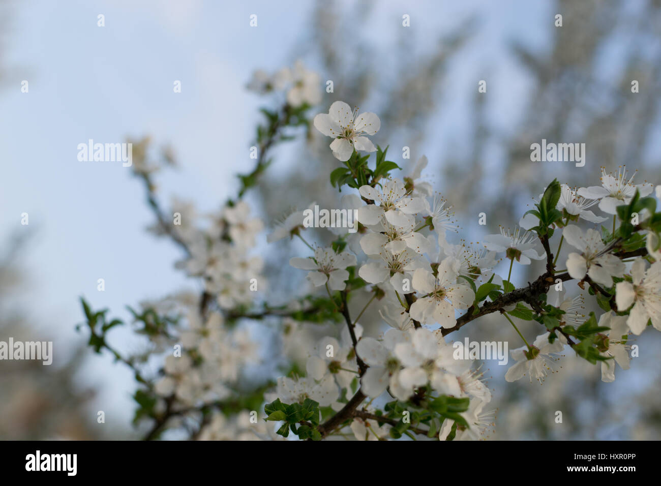 White Plum Tree Stock Photos White Plum Tree Stock Images Alamy