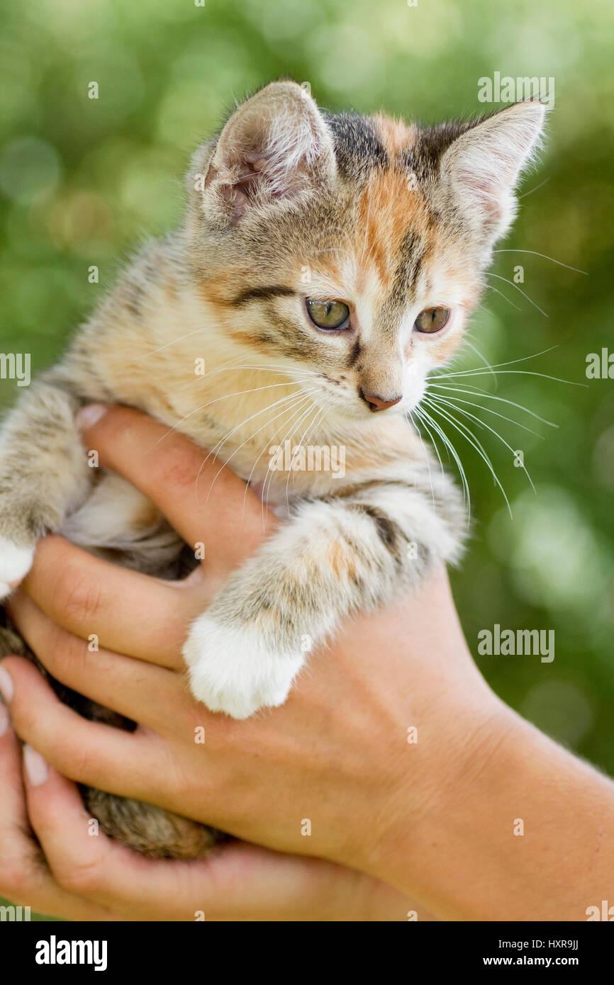 young cat is held, junge Katze wird gehalten - Stock Image