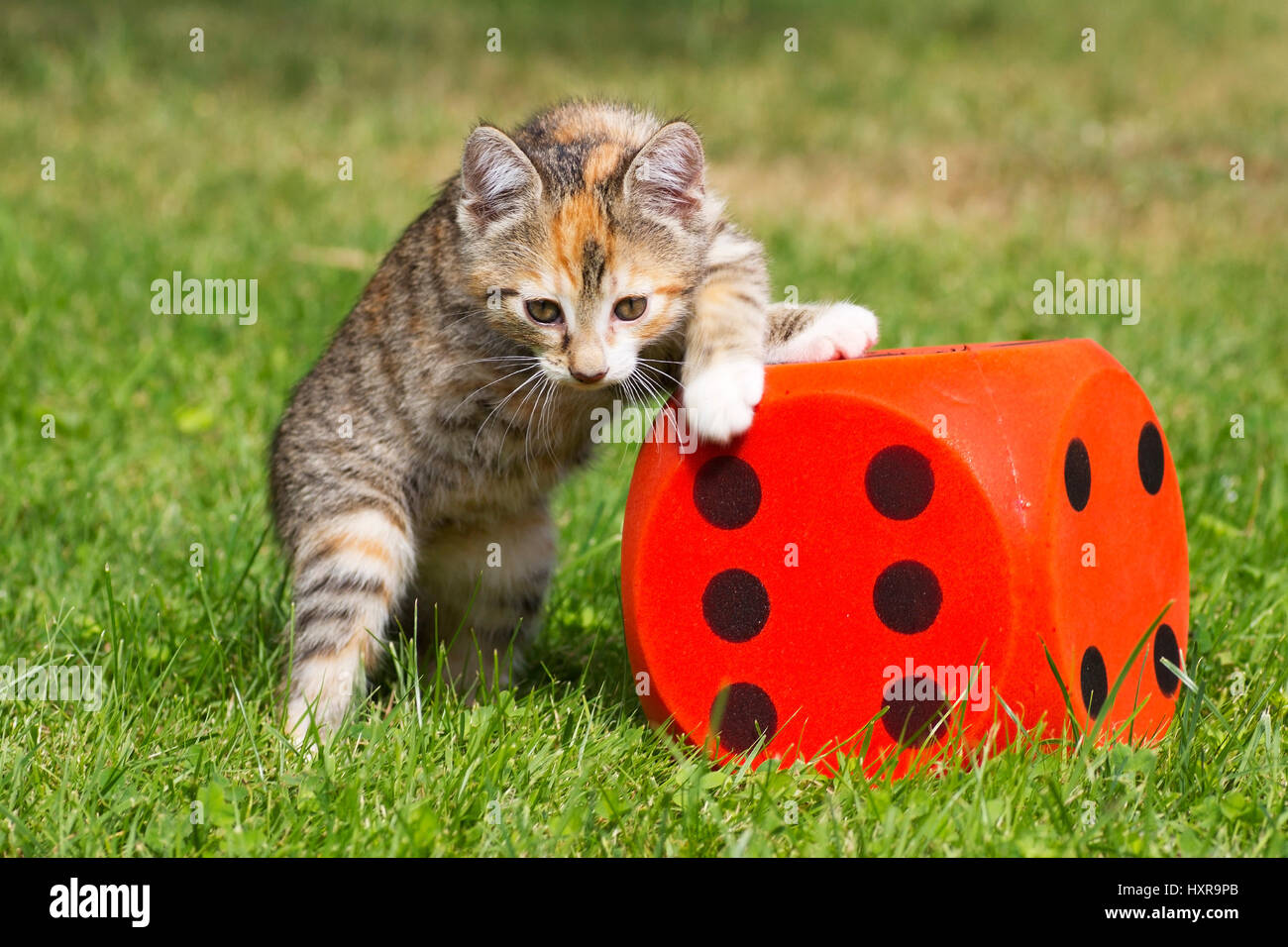 Cat plays, Katze spielt - Stock Image