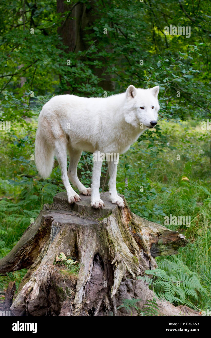 Tundra wolf, Canis lupus albus, by publication brag: Game park old Fasanerie Klein-Auheim, Tundrawolf,Canis lupus - Stock Image
