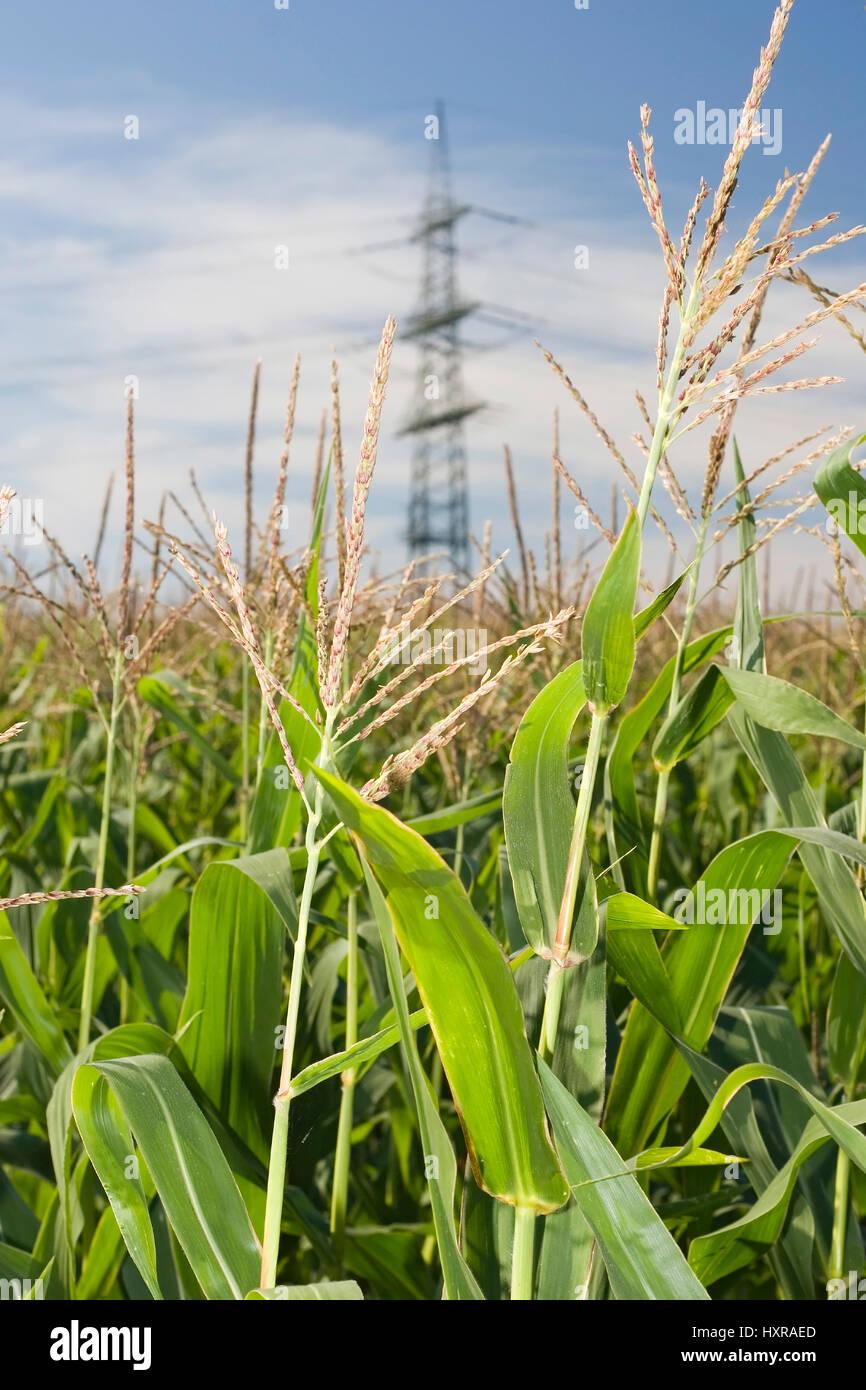 Corn field with ?berlandleitung, Maisfeld mit Überlandleitung - Stock Image