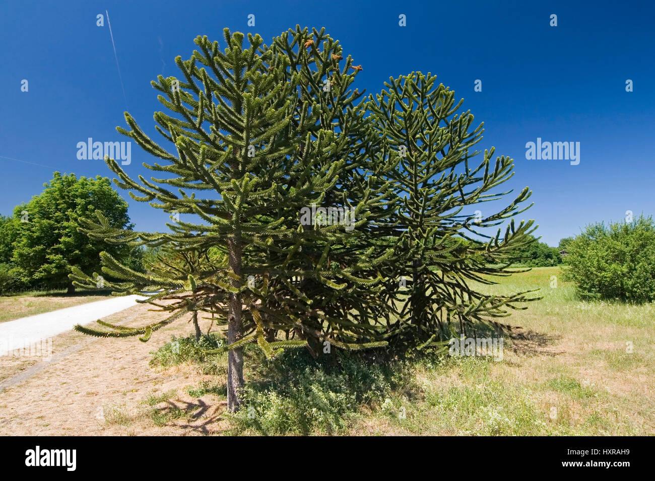 wholesale dealer 8a953 f90a9 Germany, Hessen, brook Schwal, Arboretum, Chilean Araukarien ...