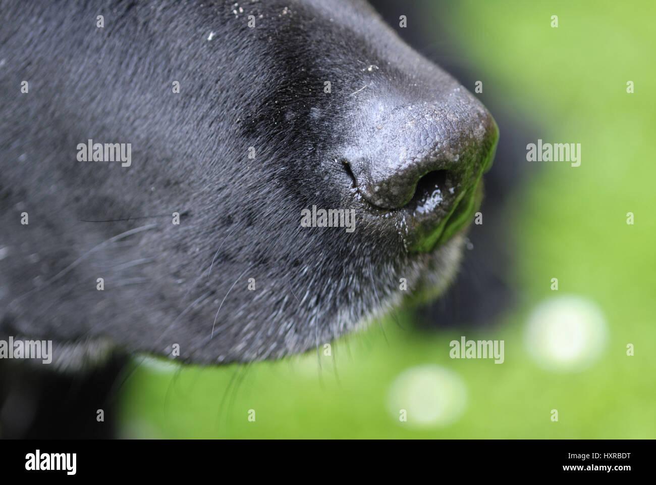 Nose of a Labrador, Nase eines Labradors Stock Photo