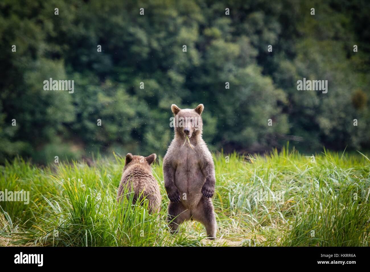 Grizzly bear cubs play along Amalik Bay in Katmai National Park Alaska. - Stock Image