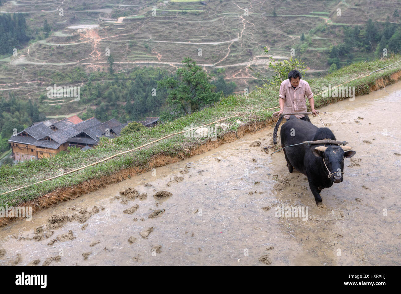 Zhaoxing Dong Village, Guizhou Province, China -  April 9, 2010: farmer plowing his flooded rice paddy with bull. Stock Photo