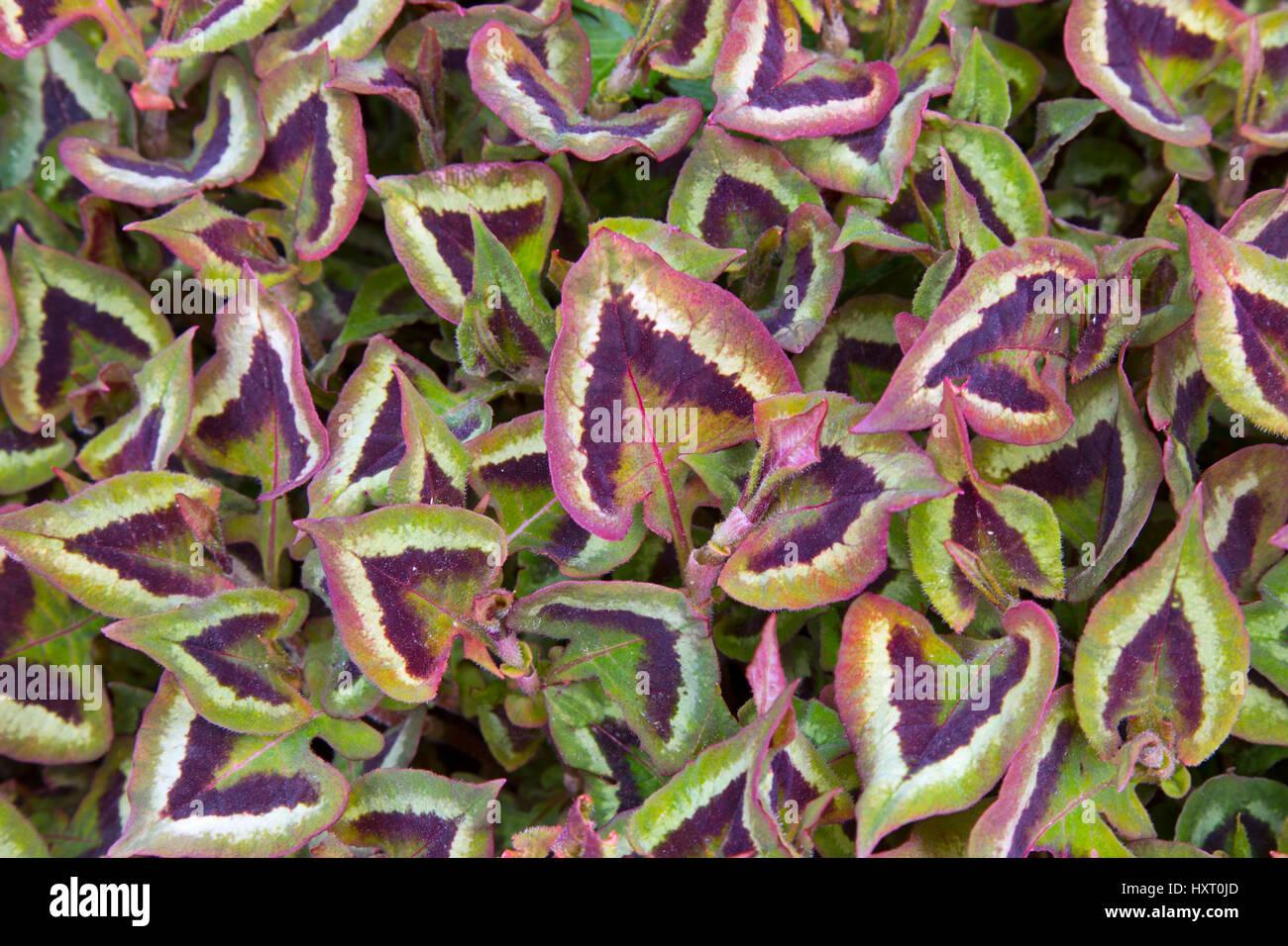 Persicaria runcinata 'Purple Fantasy' growing in border - Stock Image