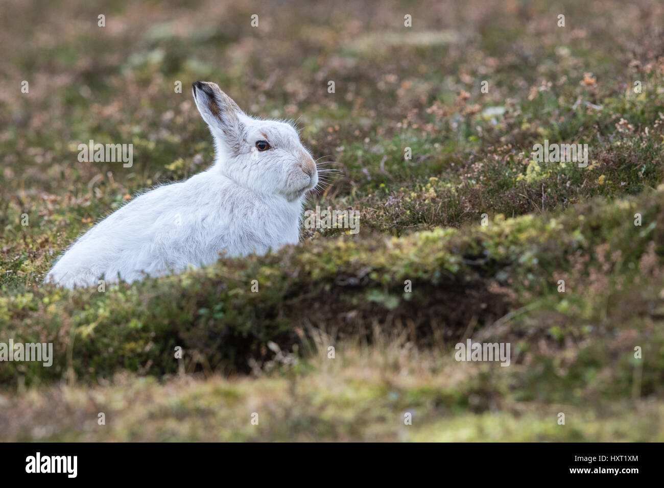 Close up of Mountain Hare (Lepus timidus) in winter white coat in heather - Stock Image