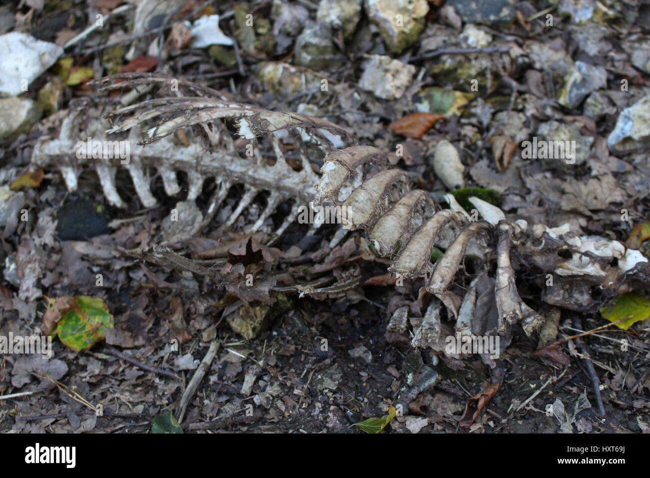 Found on a walk in the countryside. Spine of a decomposed animal. - Stock Image